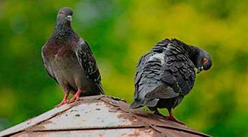 Control de plagas de palomas - Control de Aves Barcelona