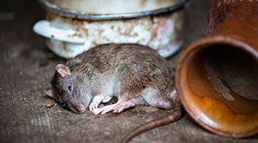Control de plagas de ratas y ratones - Desratización Barcelona