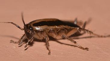 Desinfectar empresa de cucaracha alemana