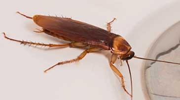 Desinfectar empresa de cucaracha americana