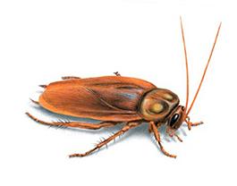 Empresa de Control de plagas de cucaracha en Barcelona