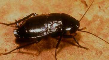 Desinfectar empresa de cucaracha oriental