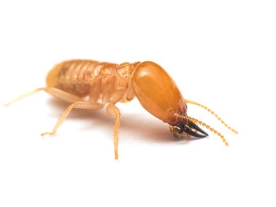 Control plagas termitas en Barcelona