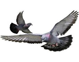 Control plagas palomas en Barcelona